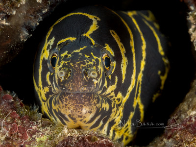 Portrait of a Chain Moray Eel.