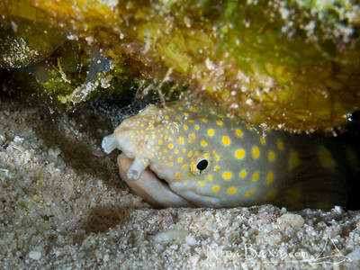 SharpTail Eel Glimpse