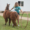 Nikki Wellbaum coaxes her llama through a Hula Hoop for the first portion of an obstacle course Friday at the Effingham County Fair. Kaitlin Cordes photo