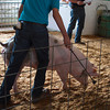A 4-H member brings out a pig for auctioning Wednesday at the Effingham County Fair 4-H Auction. | Photo by Cassie Porter