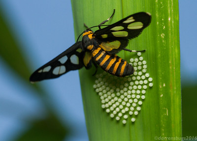 A female wasp-mimicking Tiger Moth (Arctiidae: genus Ceryx) lays her eggs on the underside of a palm tree leaf in Chiang Mai, Thailand.