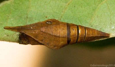 Parasitized chrysalis from Thailand.