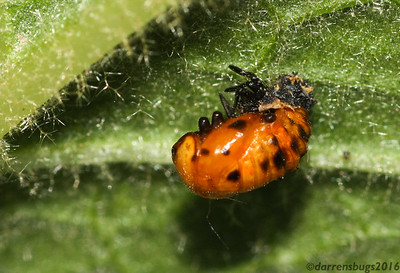 A Lady Beetle pupa (family Coccinellidae) bursts forth from its larval 'skin' in Iowa.