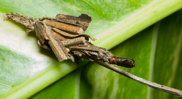 A bagworm moth pupa (Psychidae) emerges from its intricate larval structure in Bangkok, Thailand. If you look closely, you can see the plumed antennae of the adult within the pupal case.