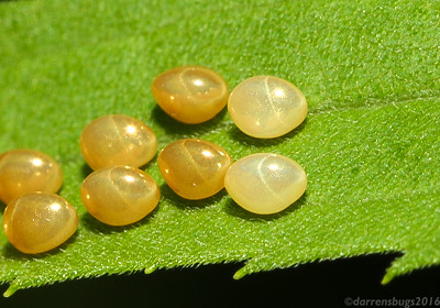 Insect eggs, likely those of the leaf-footed bug (Coreidae), from Iowa.