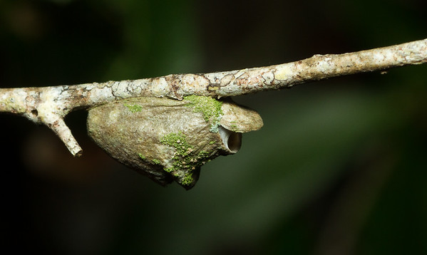 Moth cocoon from the Timucuan Preserve in Florida.
