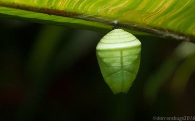 Butterfly chrysalis from Monteverde, Costa Rica.