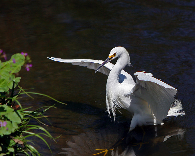 An egret is any of several herons, most of which are white or buff, and several of which develop fine plumes[ usually milky white] during the breeding season. Many egrets are members of the genera Egretta or Ardea which contain other species named as herons rather than egrets. The distinction between a heron and an egret is rather vague, and depends more on appearance than biology. An egret is any of several herons, most of which are white or buff, and several of which develop fine plumes[ usually milky white] during the breeding season. Many egrets are members of the genera Egretta or Ardea which contain other species named as herons rather than egrets. The distinction between a heron and an egret is rather vague, and depends more on appearance than biology.