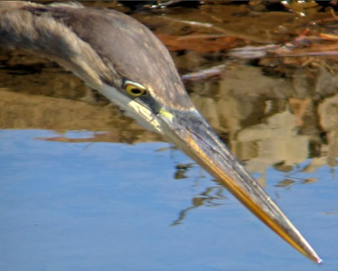 Egrets , Herons , Sandhill crane , Black crowned and yellow crowned night herons and a lot more !