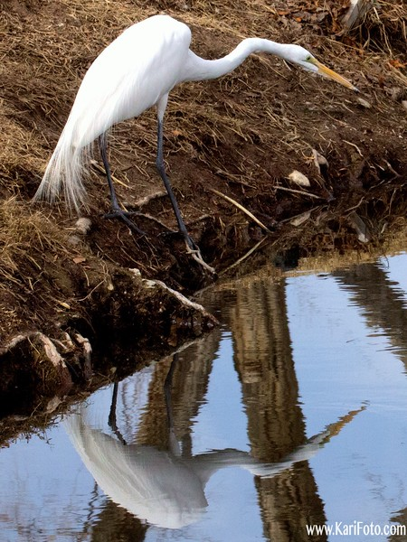 Great Egret fishing (with reflection)