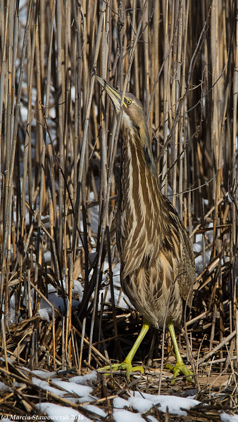 Bittern with the snow