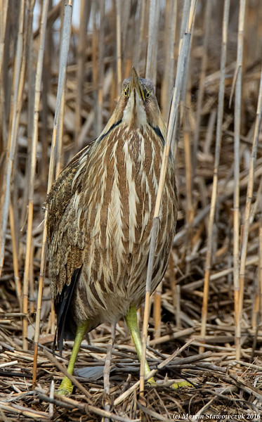 Bittern from the front