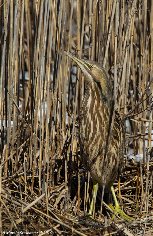 The lord of reeds