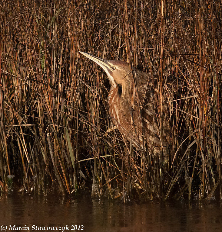 Bittern by the water