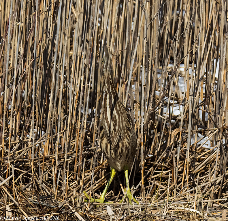Can you see the bittern?