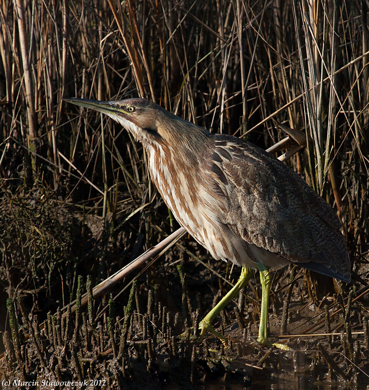 Bittern by the reeds