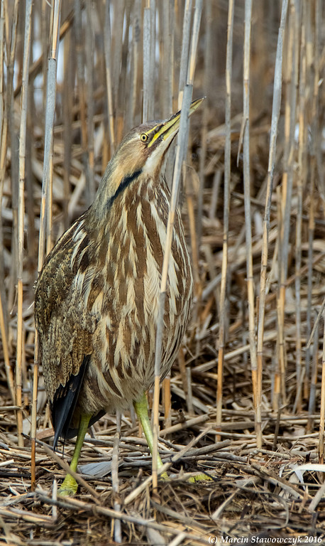 Bittern behind the reeds