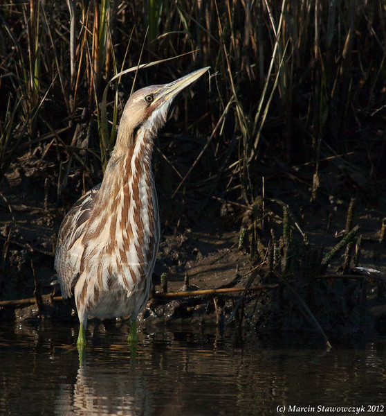 Bittern with a long neck