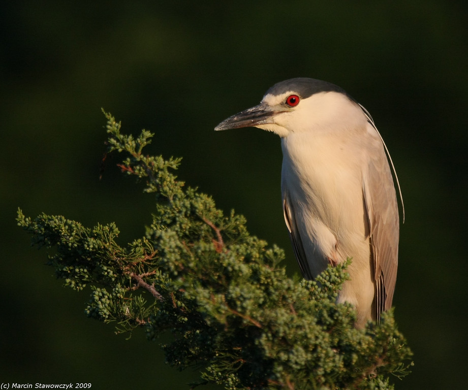 Night heron at sunset