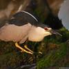 Squatting night heron