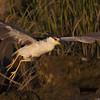 Takeoff of a night heron