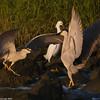 Night herons arguing