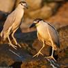 Two night herons