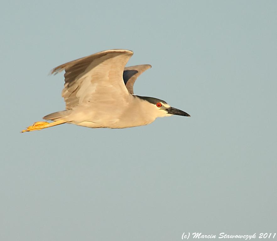 Flying night heron