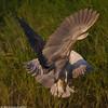 Fighting night heron