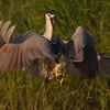Dueling night herons
