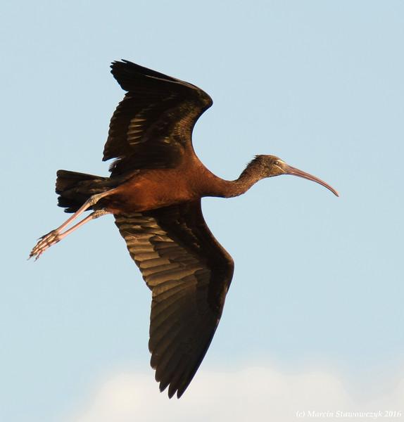 Gliding ibis