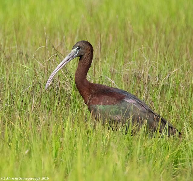 Shining ibis