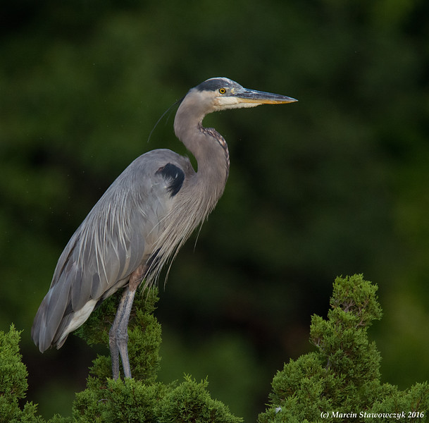 Heron on a tree