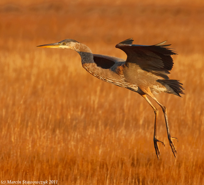 Floating great Blue heron