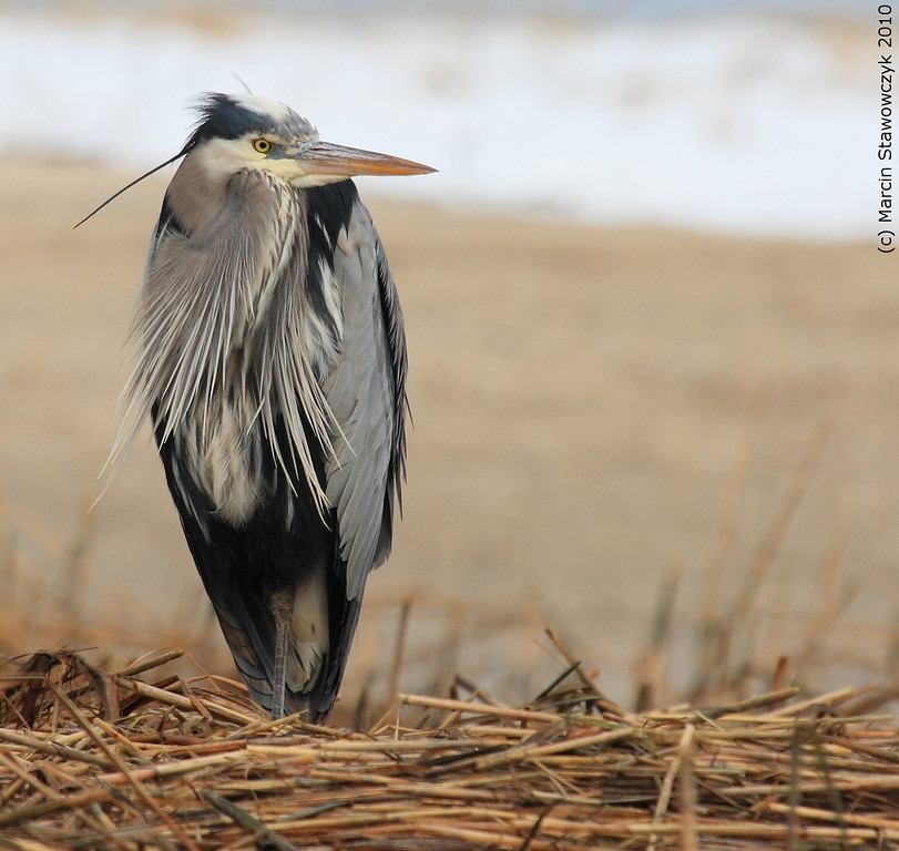 Winter heron