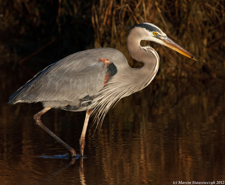 Great blue heron in an early morning light