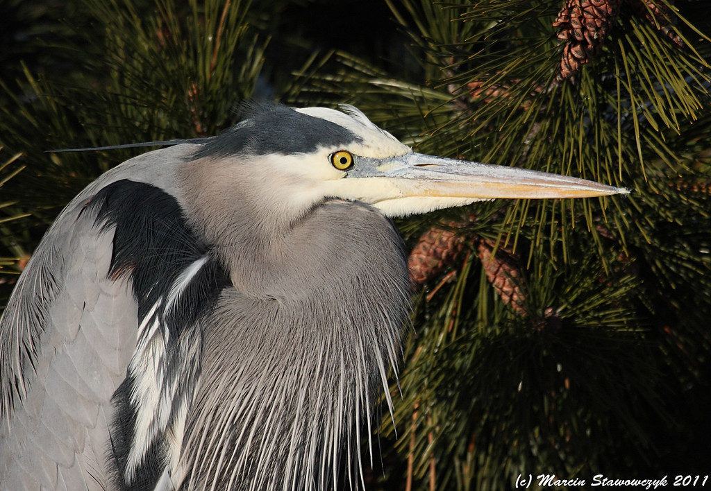 Heron close-up
