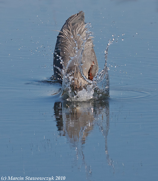 Great blue splash