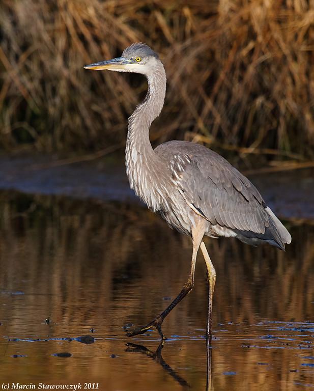 Marching heron