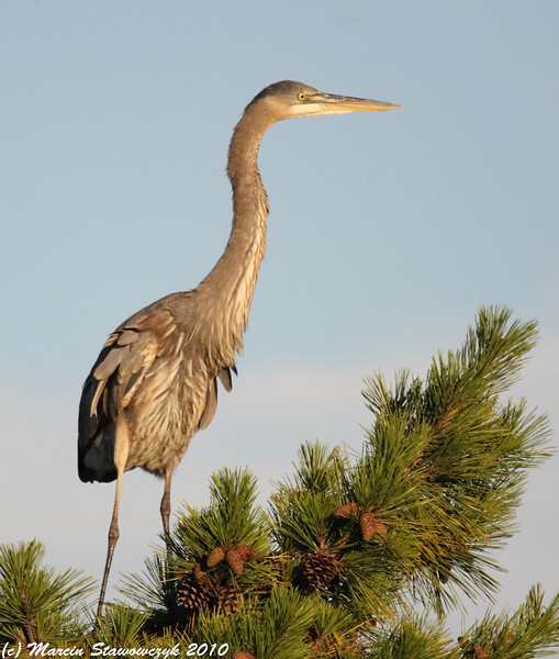 Great blue neck