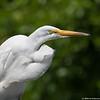 Summer egret