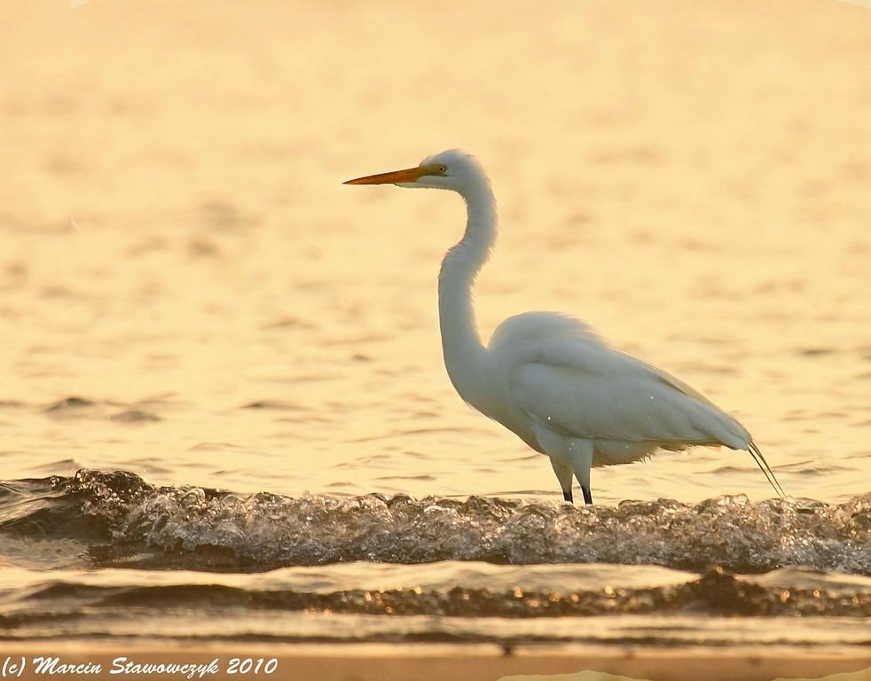 Sea egret
