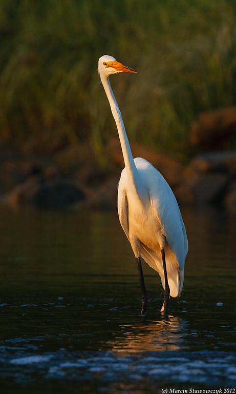 Great egret at dawn