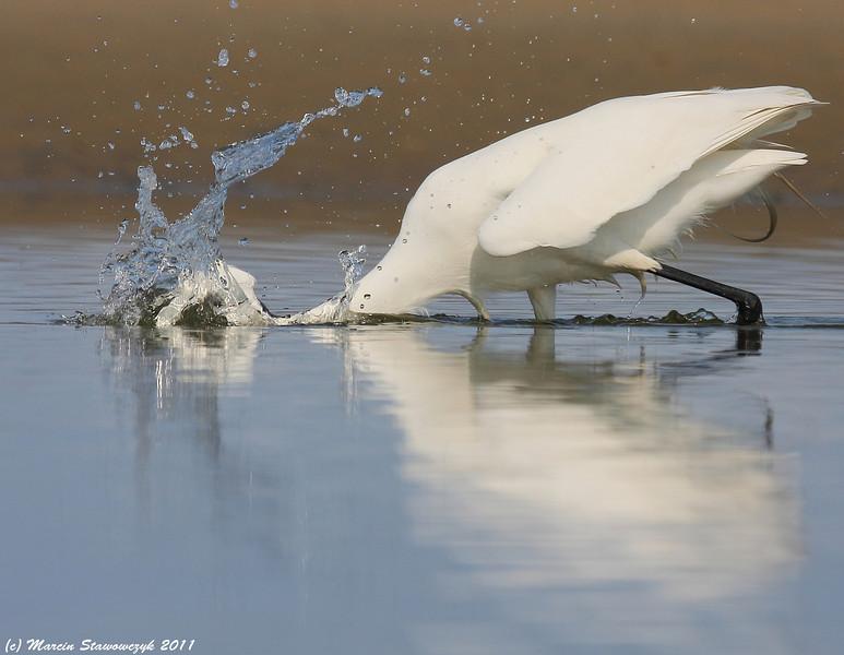 Hunting egret