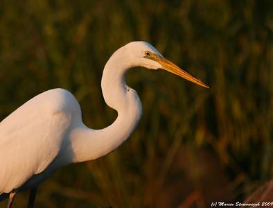 Egrets, Herons and Ibises