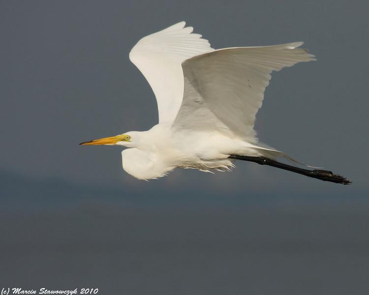 Contrasty egret