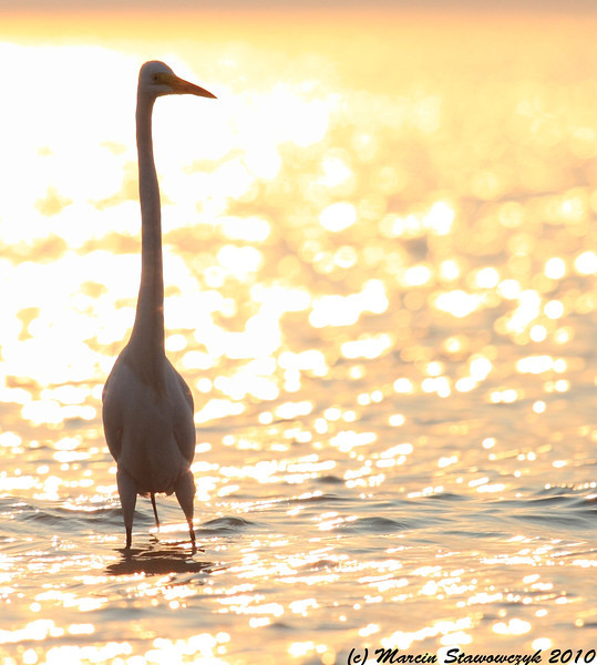 Sunset egret