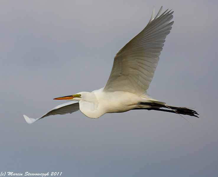 Egret wingspread