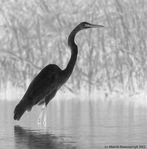 Posing great egret