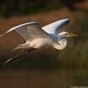 Egret flying in the morning